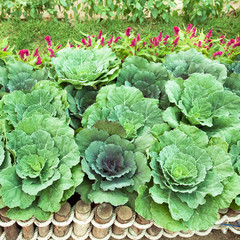 Cabbage organics at  farm