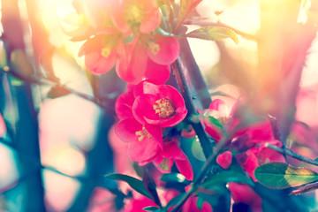 Soft focus on beautiful blooming - flowering fruit tree