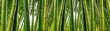 Fototapety Sunlght peeks through dense bamboo