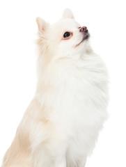 Pomeranian dog look up