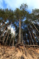 Drzewo sosnowe na skraju wydmy, korzenie.