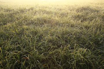 green grass with dew summer background