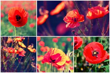 Beautiful poppy flowers collage