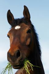Pferd frißt Gras