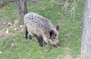 Beautiful wild boar