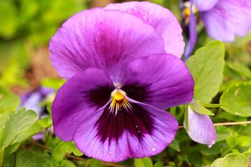 Violet. Viola flower field. Violet flowers.