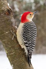 Red-bellied Woodpecker (male) in the snow