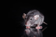 Leinwandbild Motiv brown  domestic rat on a black background