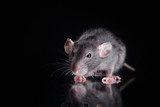 brown  domestic rat on a black background