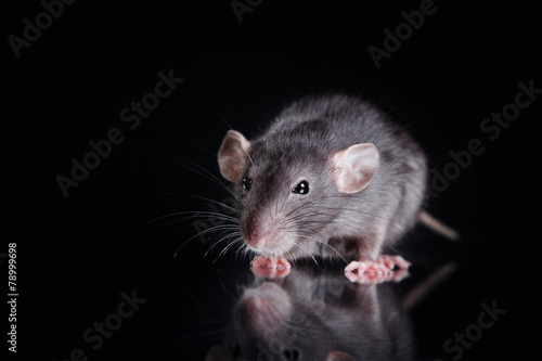 brown  domestic rat on a black background - 78999698