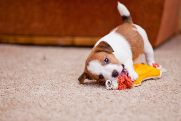 puppy Jack Russell Terrier