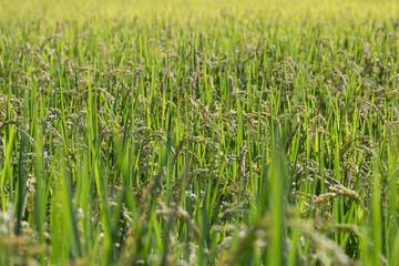 Oryza sativa(Rice)