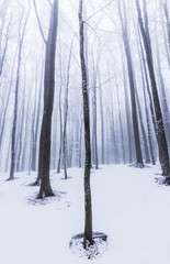 Abstract scenery with birch trees in the forest