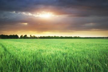 Green meadow of wheat
