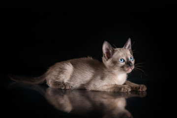 Burma kitten. Portrait on a black background