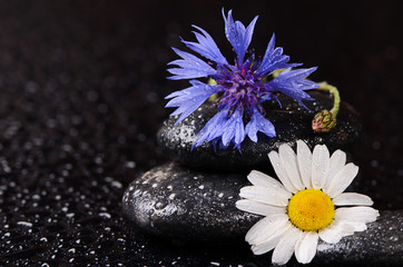 Stones for spa with water drops and cornflower