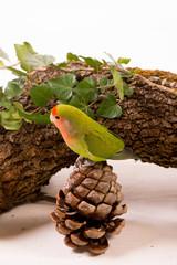 oiseau inséparable roséicolis - lovebird