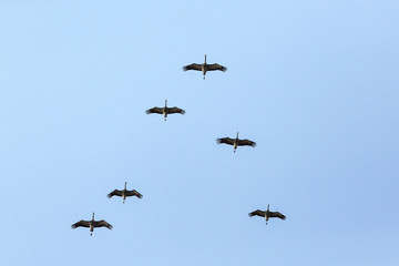 Flock of cranes in formation