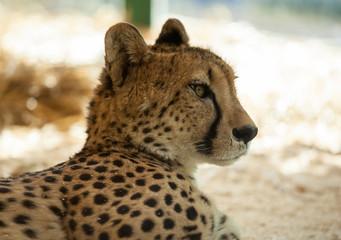 Beautiful cheetah resting on sand, closeup shot
