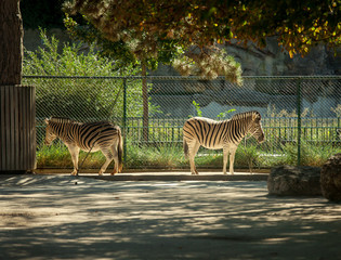 Two zebras in the zoo