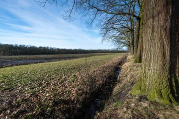 Row of bare tree beside a field in wintertime