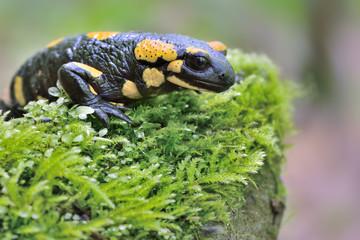 Salamandra in native habitat