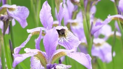 Шмель на цветке