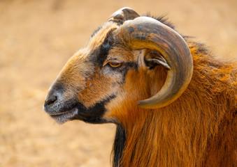 beautiful brown goat sitting