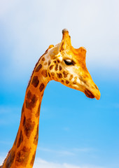 The head of a camelopard isolated on blue sky