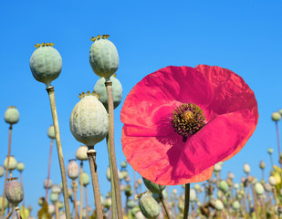 Poppy heads in field on sunny day
