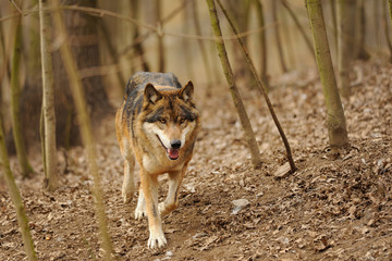 Running wolf from the front view