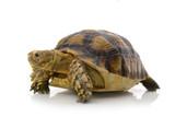 Desert tortoise isolated on white background