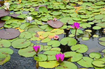 Water lilies in the pond Nymphaeum in the park