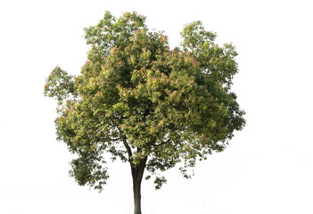 Beautiful green tree on a white background