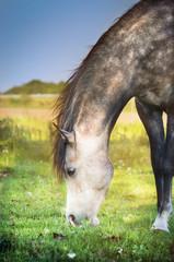 Gray horse grazed , close up