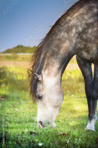 Gray horse grazed , close up