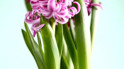 Hyazinthe, Blüte