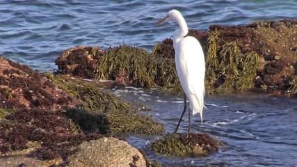 Great Egret at the Coast
