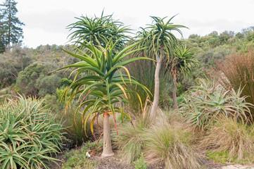 Aloes near Stellenbosch
