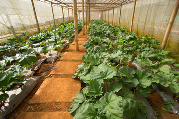 vegetable close farm, indoor cabbage and salad vegetable farm