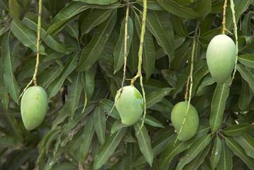 Mangifera indica, Manguier