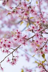 Himalayan cherry blossom, outdoor pink Sukura or Cherry Blossom