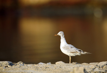 The slender-billed seagull