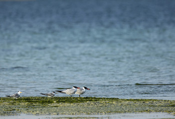 Lesser crested terns and caspian terns