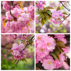 collage with photos cherry blossom branch