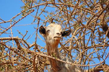 Goat feeding on argan tree in Morocco