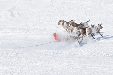 second before falling musher sleds with reindeer