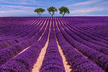 """Постер, картина, фотообои """"Lavender field Summer sunset landscape with tree"""""""