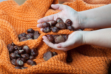 Chestnuts on a knitted orange background and in the hands