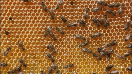 Bees convert nectar into honey and cover it in honeycombs.